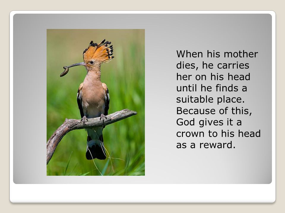 When his mother dies, he carries her on his head until he finds a suitable place.