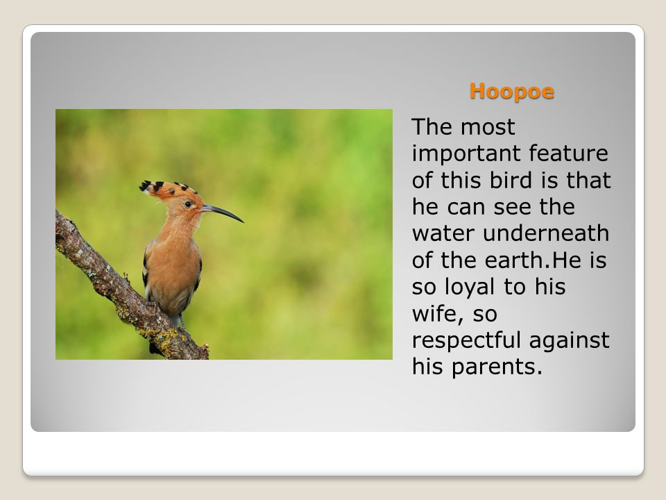 Hoopoe The most important feature of this bird is that he can see the water underneath of the earth.He is so loyal to his wife, so respectful against his parents.