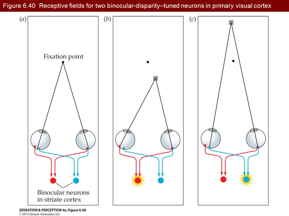Figure 6.40 Receptive fields for two binocular-disparity–tuned neurons in primary visual cortex