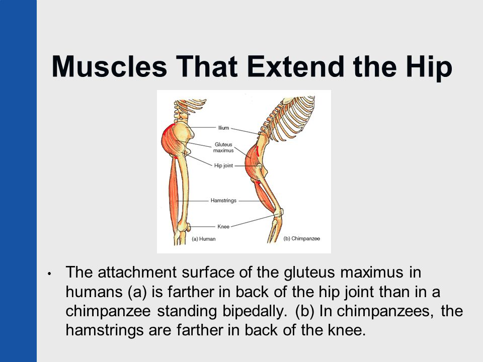 Muscles That Extend the Hip The attachment surface of the gluteus maximus in humans (a) is farther in back of the hip joint than in a chimpanzee stand