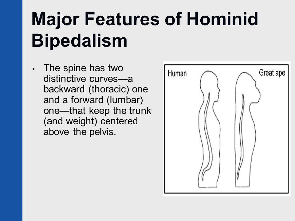 Major Features of Hominid Bipedalism The spine has two distinctive curves—a backward (thoracic) one and a forward (lumbar) one—that keep the trunk (an