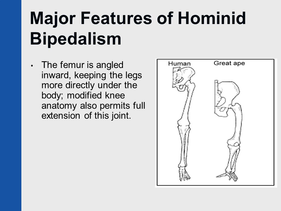 Major Features of Hominid Bipedalism The femur is angled inward, keeping the legs more directly under the body; modified knee anatomy also permits ful