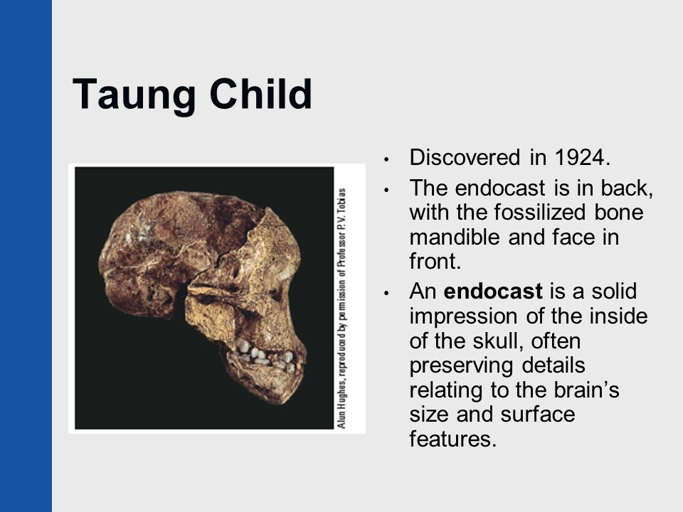 Taung Child Discovered in 1924. The endocast is in back, with the fossilized bone mandible and face in front. An endocast is a solid impression of the