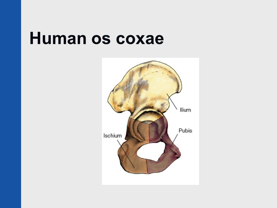 Human os coxae