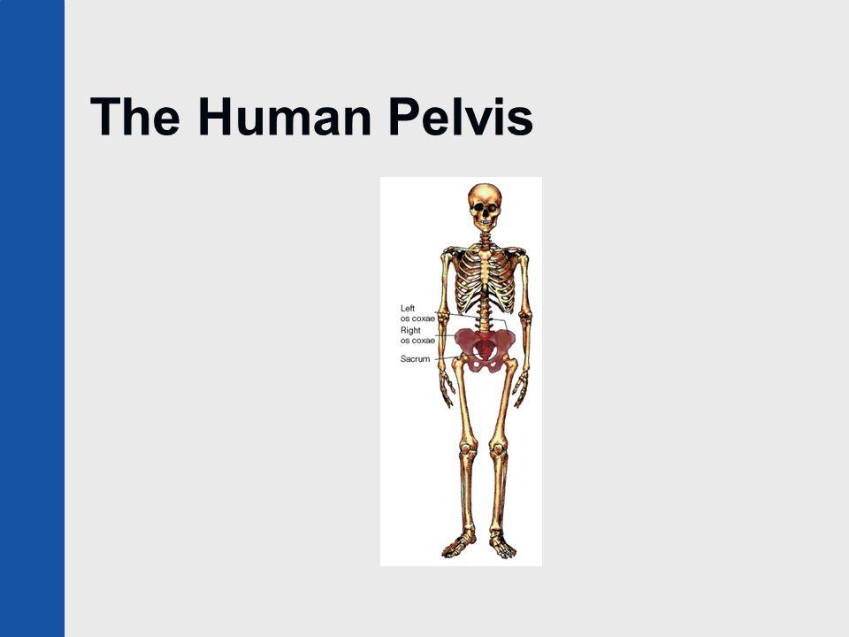The Human Pelvis