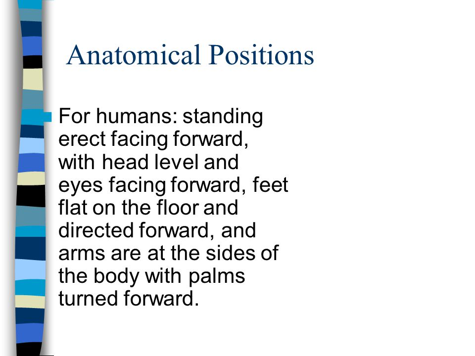 Anatomical Positions For humans: standing erect facing forward, with head level and eyes facing forward, feet flat on the floor and directed forward, and arms are at the sides of the body with palms turned forward.