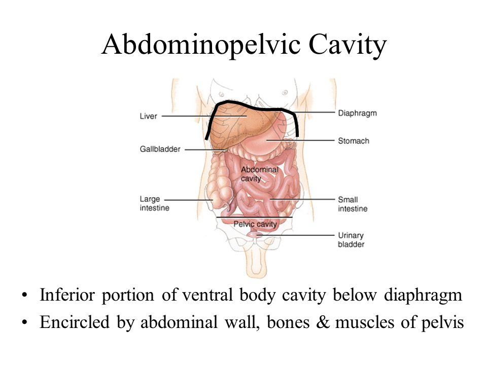 Abdominopelvic Cavity Inferior portion of ventral body cavity below diaphragm Encircled by abdominal wall, bones & muscles of pelvis
