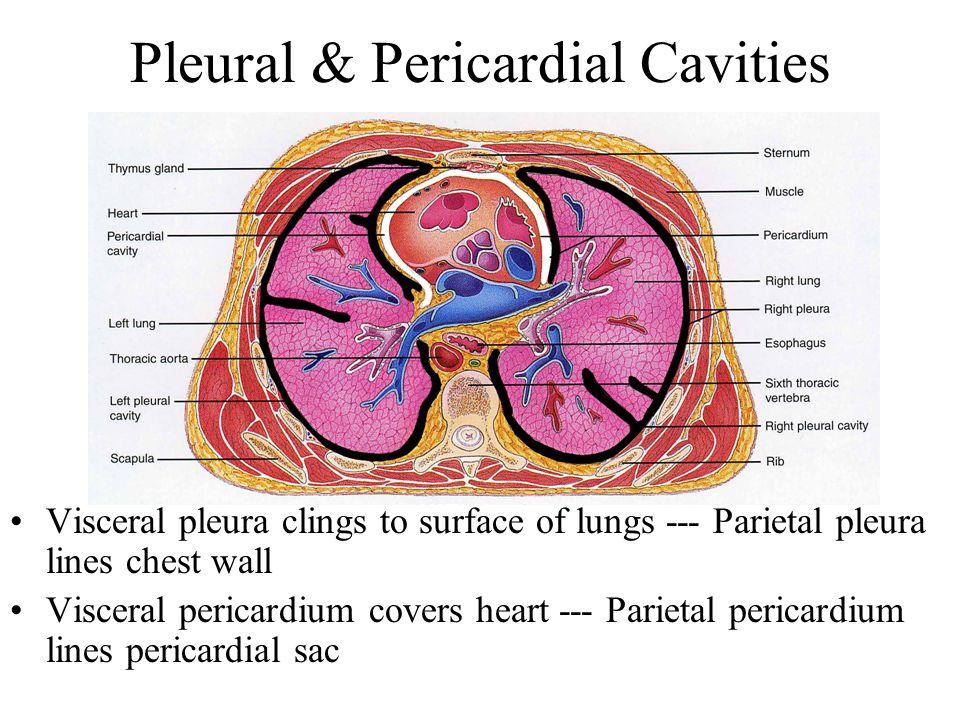 Pleural & Pericardial Cavities Visceral pleura clings to surface of lungs --- Parietal pleura lines chest wall Visceral pericardium covers heart --- Parietal pericardium lines pericardial sac