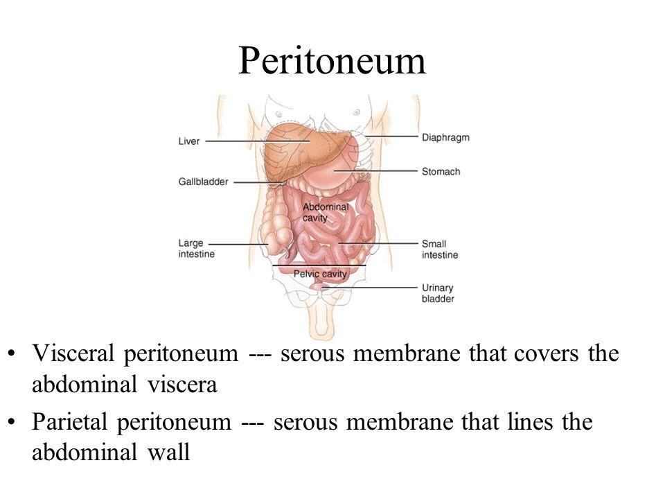 Peritoneum Visceral peritoneum --- serous membrane that covers the abdominal viscera Parietal peritoneum --- serous membrane that lines the abdominal wall
