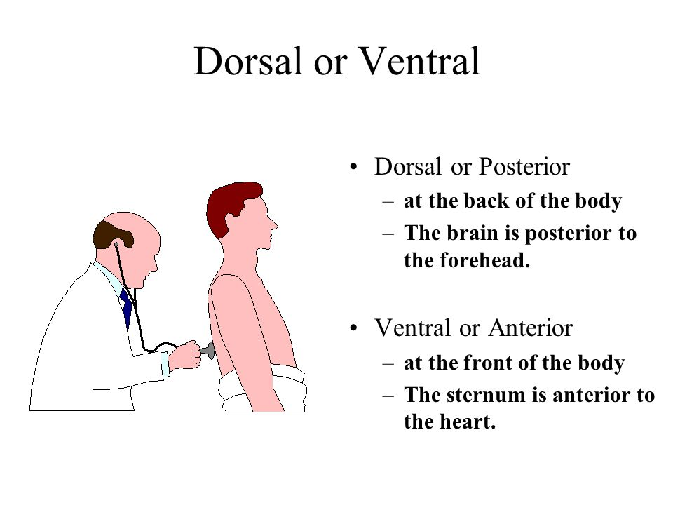 Dorsal or Posterior –at the back of the body –The brain is posterior to the forehead.