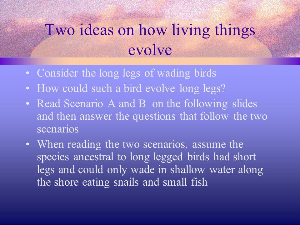 Evolution of long legged birds Snowy EgretGreat Blue Heron