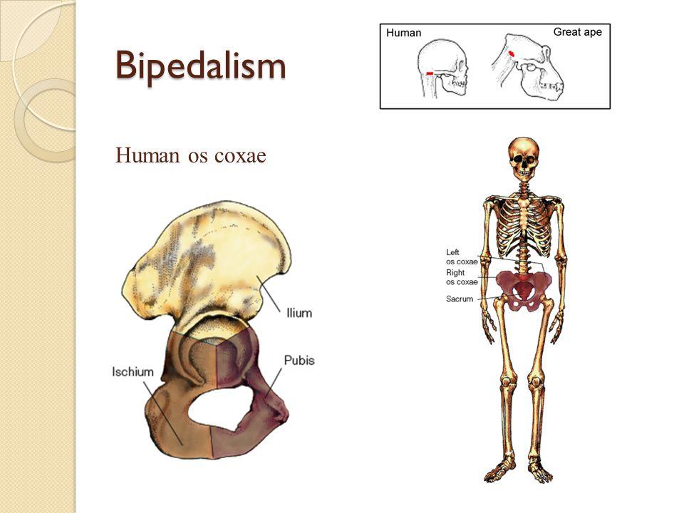 Bipedalism Human os coxae