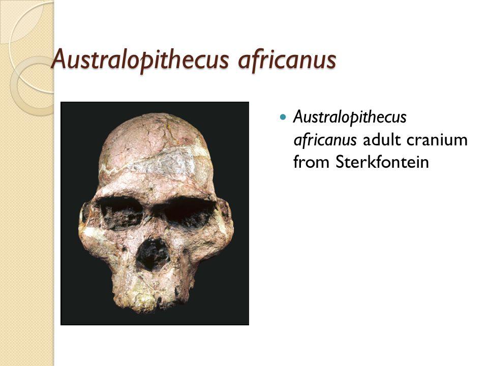Australopithecus africanus Australopithecus africanus adult cranium from Sterkfontein
