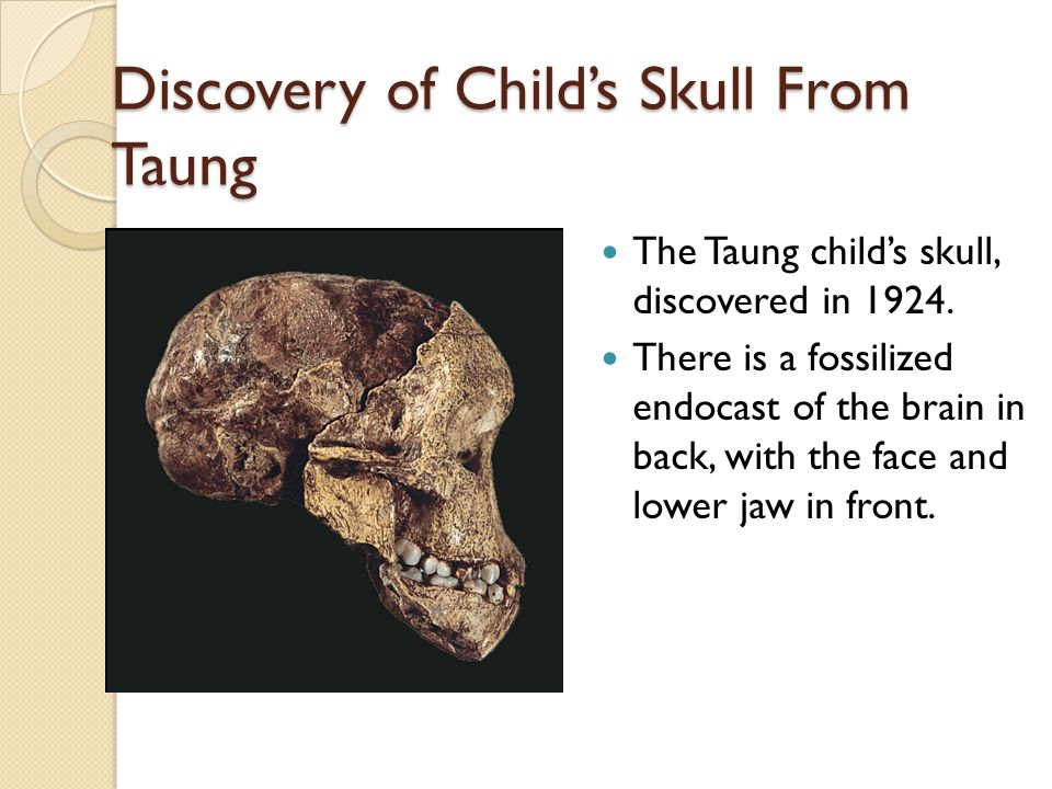 Discovery of Child's Skull From Taung The Taung child's skull, discovered in 1924.