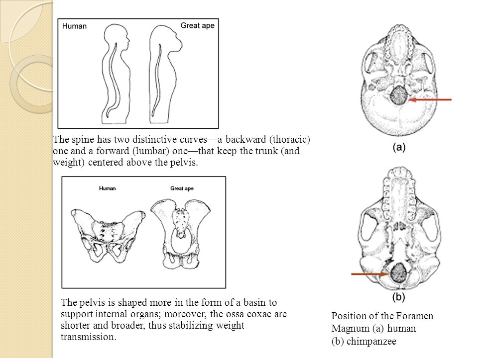 Position of the Foramen Magnum (a) human (b) chimpanzee The spine has two distinctive curves—a backward (thoracic) one and a forward (lumbar) one—that keep the trunk (and weight) centered above the pelvis.