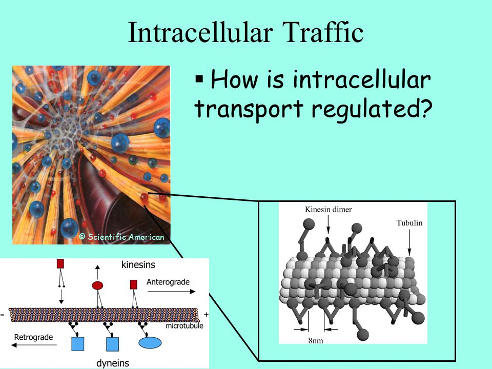 Intracellular Traffic © Scientific American  How is intracellular transport regulated?