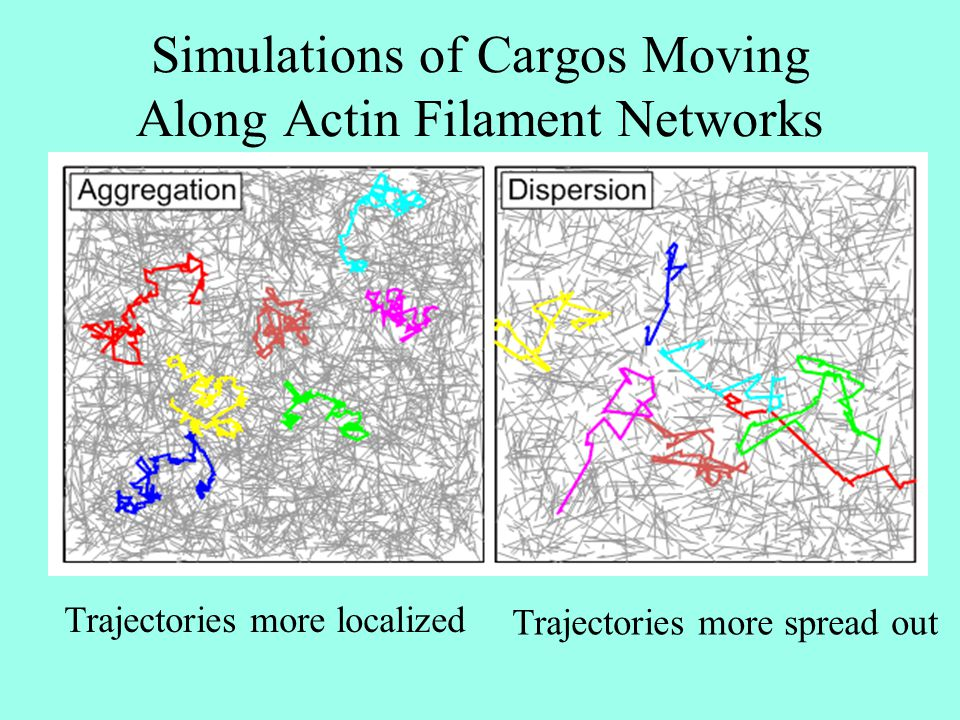 Simulations of Cargos Moving Along Actin Filament Networks Trajectories more localized Trajectories more spread out