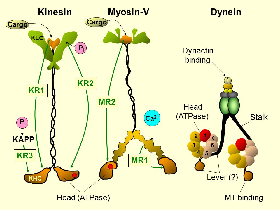Myosin-VDynein Head (ATPase) 1 4 3 5 c 6 2 Head (ATPase) Lever (?) Stalk PiPi PiPi KAPP KHC KLC KR2 KR3 Cargo Ca 2+ MR2 MR1 Cargo KR1 Dynactin binding