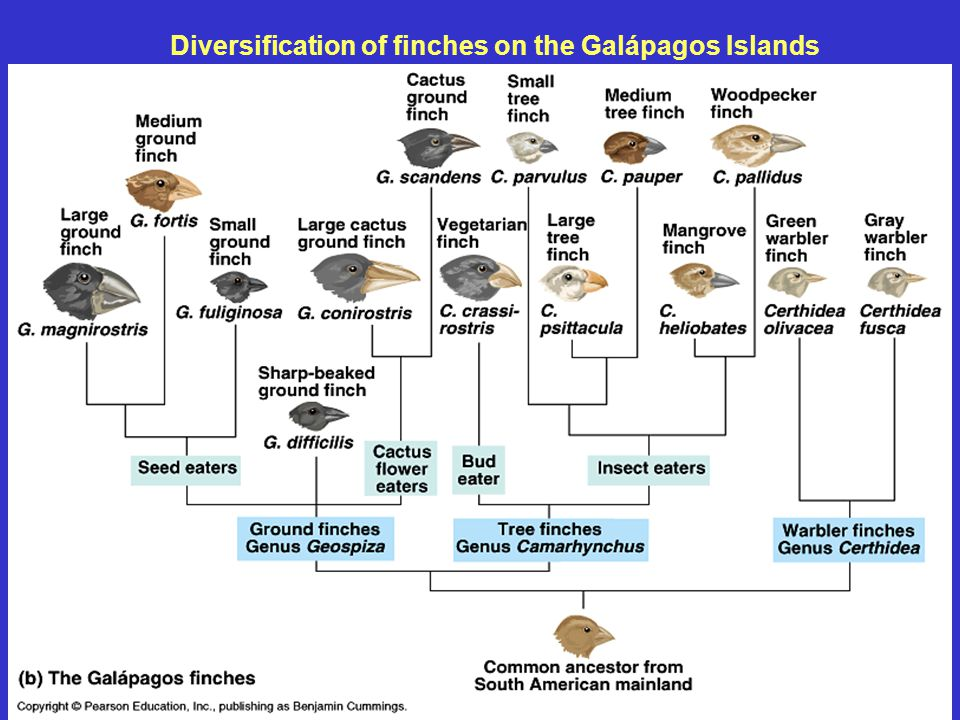 Diversification of finches on the Galápagos Islands