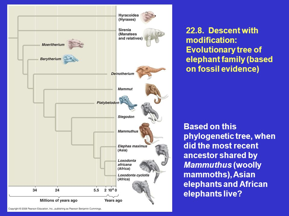 22.8. Descent with modification: Evolutionary tree of elephant family (based on fossil evidence) Based on this phylogenetic tree, when did the most re