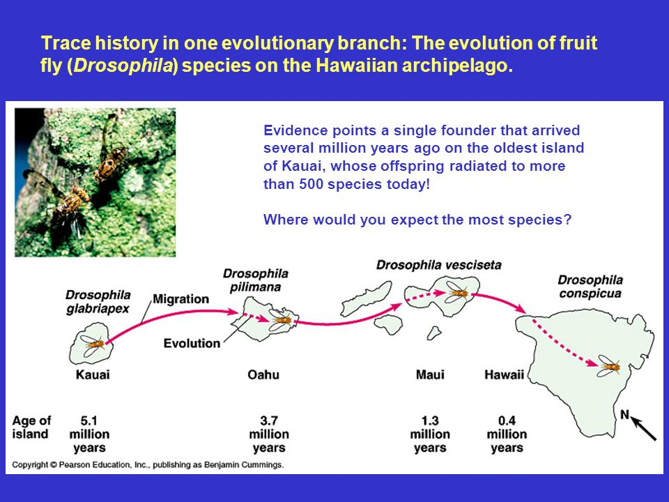 Trace history in one evolutionary branch: The evolution of fruit fly (Drosophila) species on the Hawaiian archipelago. Evidence points a single founde