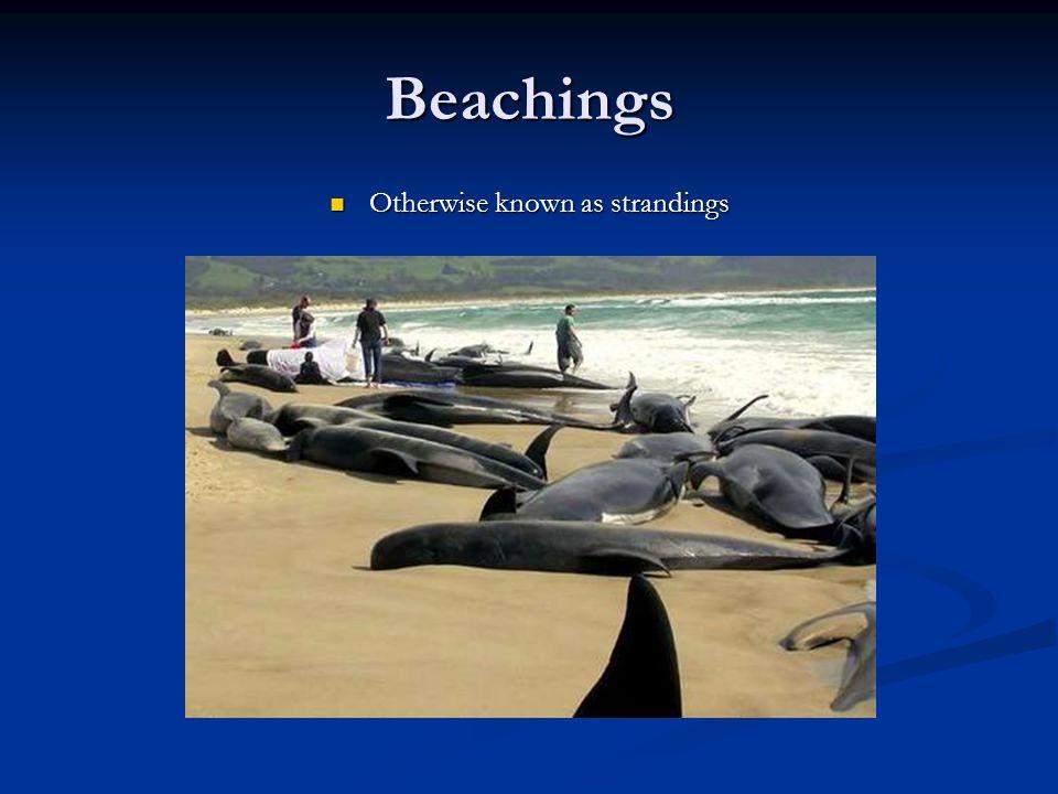 Beachings Otherwise known as strandings Otherwise known as strandings