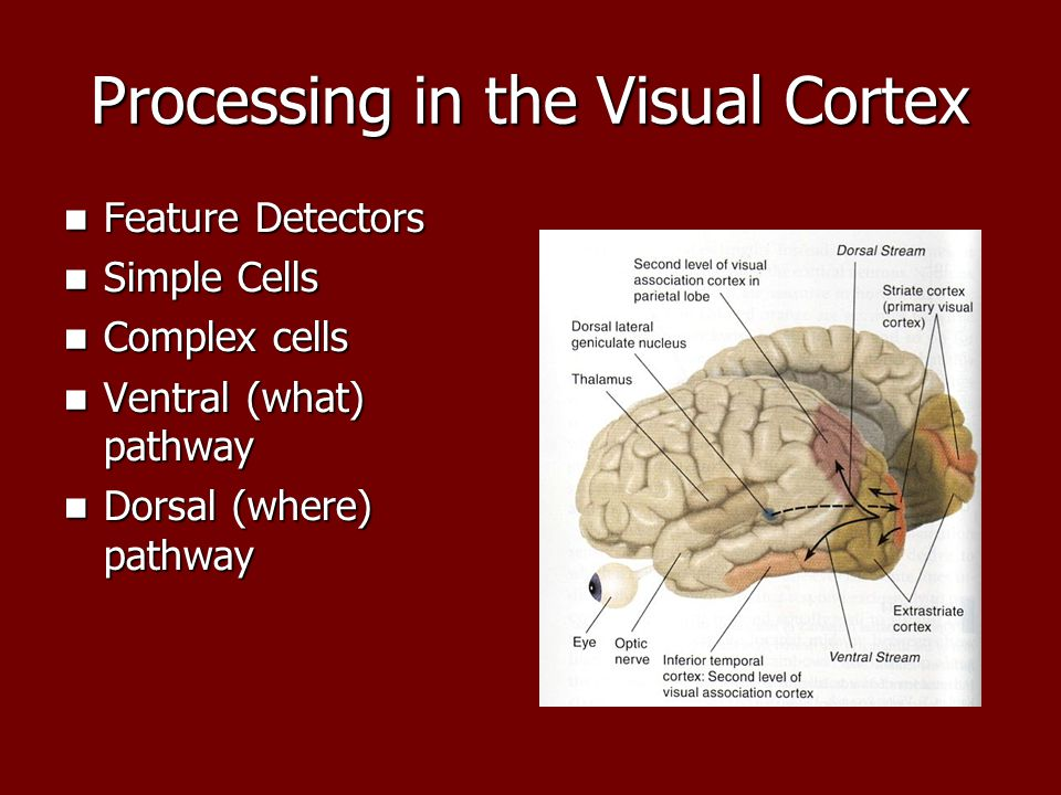 Processing in the Visual Cortex Feature Detectors Feature Detectors Simple Cells Simple Cells Complex cells Complex cells Ventral (what) pathway Ventral (what) pathway Dorsal (where) pathway Dorsal (where) pathway