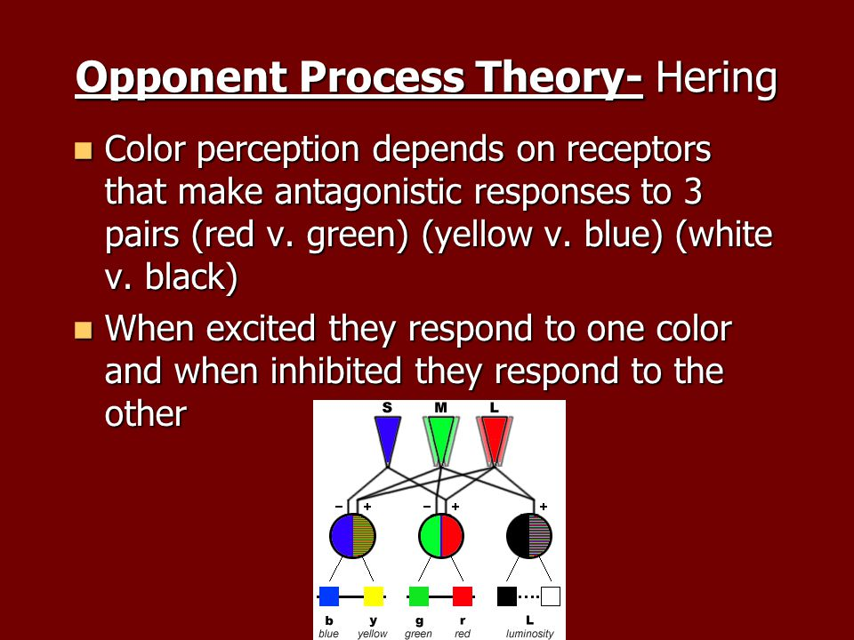 Opponent Process Theory- Hering Color perception depends on receptors that make antagonistic responses to 3 pairs (red v.