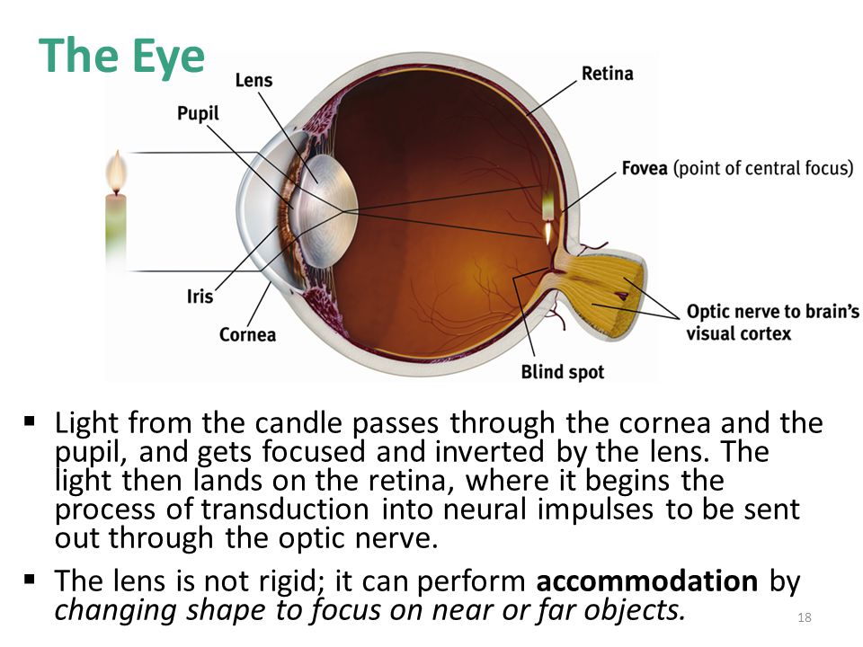  Light from the candle passes through the cornea and the pupil, and gets focused and inverted by the lens. The light then lands on the retina, where
