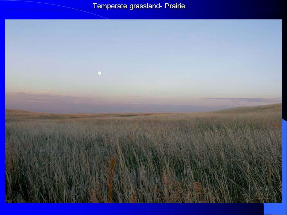 Temperate grassland- Prairie