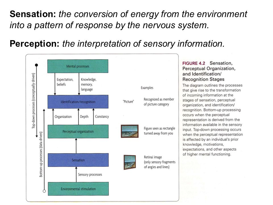 Sensation: the conversion of energy from the environment into a pattern of response by the nervous system. Perception: the interpretation of sensory i