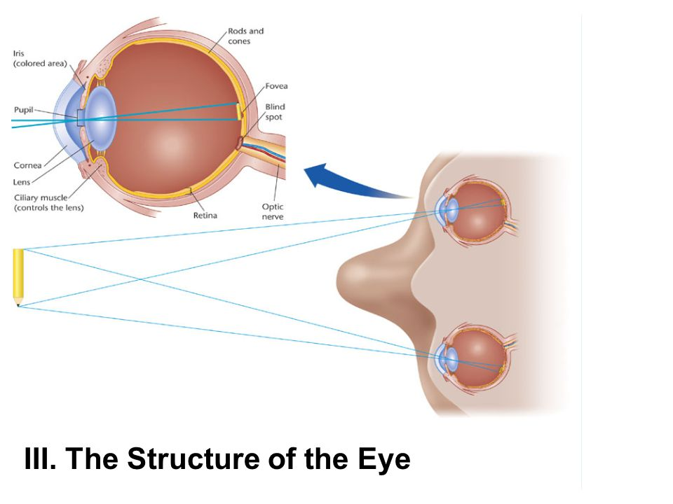 III. The Structure of the Eye