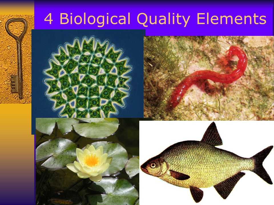 4 Biological Quality Elements  BQE
