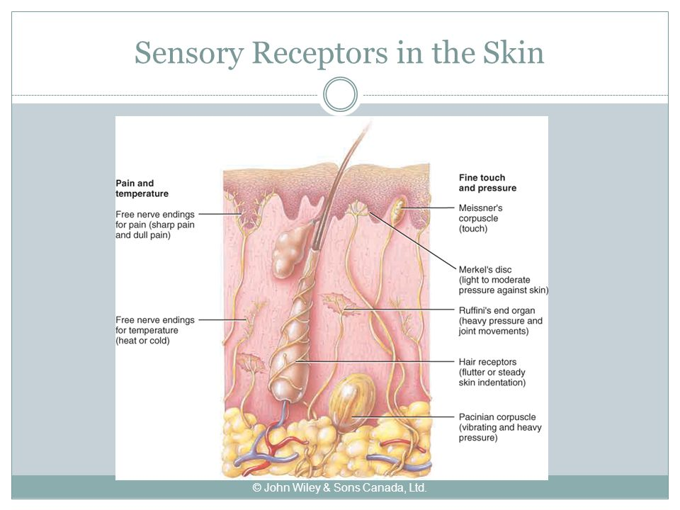 Sensory Receptors in the Skin © John Wiley & Sons Canada, Ltd.