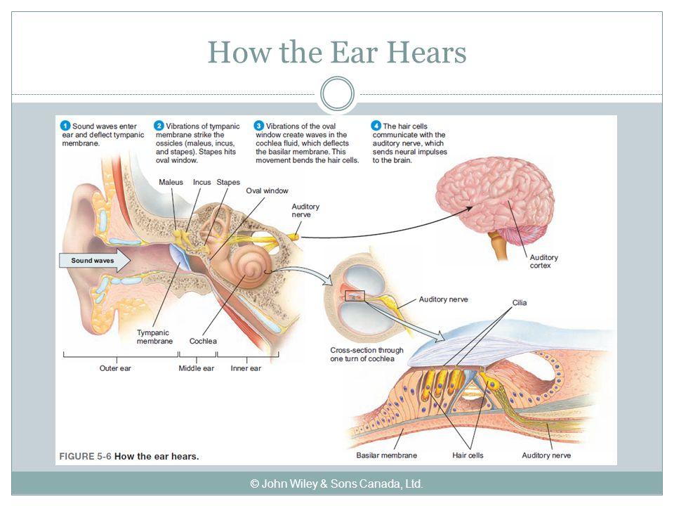 How the Ear Hears © John Wiley & Sons Canada, Ltd.