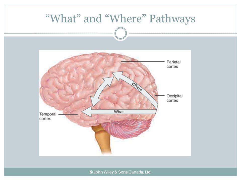 What and Where Pathways © John Wiley & Sons Canada, Ltd.