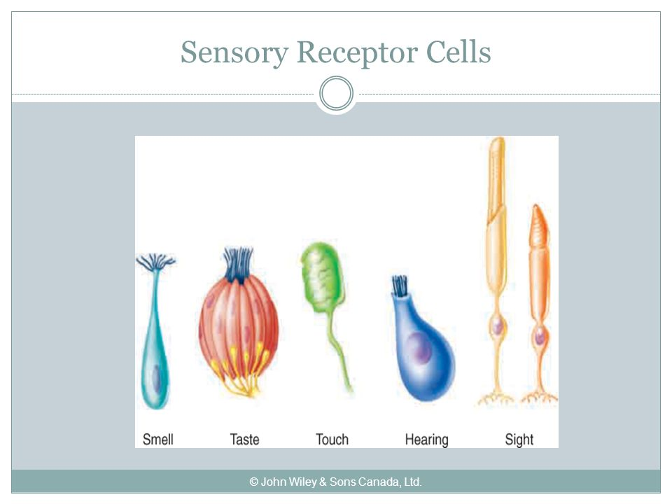 Sensory Receptor Cells © John Wiley & Sons Canada, Ltd.