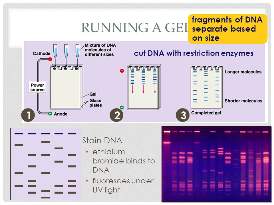 RUNNING A GEL 12 cut DNA with restriction enzymes fragments of DNA separate based on size 3 Stain DNA ethidium bromide binds to DNA fluoresces under UV light