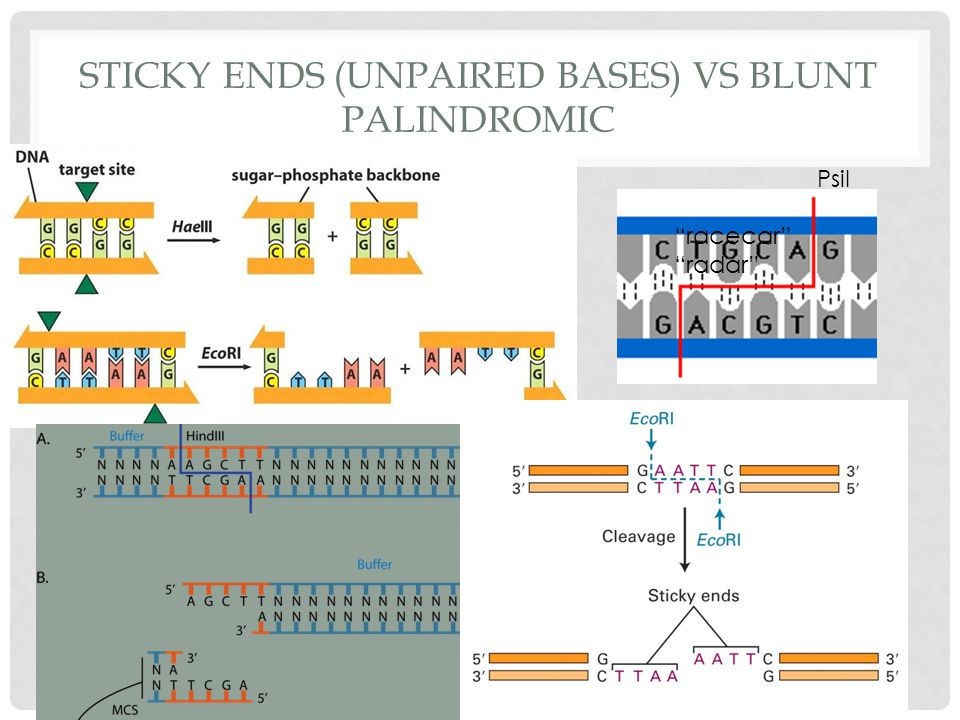 STICKY ENDS (UNPAIRED BASES) VS BLUNT PALINDROMIC PsiI Action of enzyme: produces restriction fragments cut DNA at specific sequences restriction site symmetrical palindrome produces two double stranded DNA sticky ends will bind to any foreign (complementary) by hydrogen bonding racecar radar