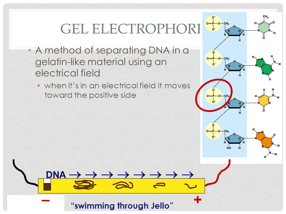 GEL ELECTROPHORESIS A method of separating DNA in a gelatin-like material using an electrical field when it's in an electrical field it moves toward the positive side + – DNA         swimming through Jello