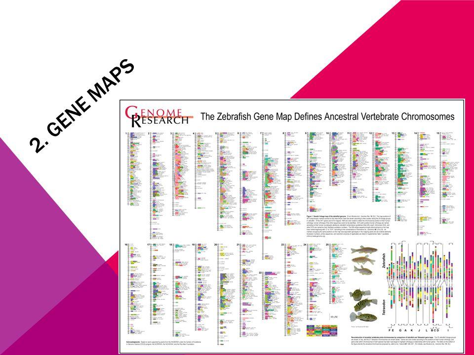 2. GENE MAPS
