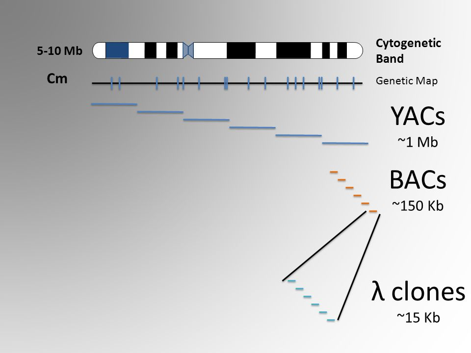 Cytogenetic Band 5-10 Mb Genetic Map Cm YACs ~1 Mb BACs ~150 Kb λ clones ~15 Kb