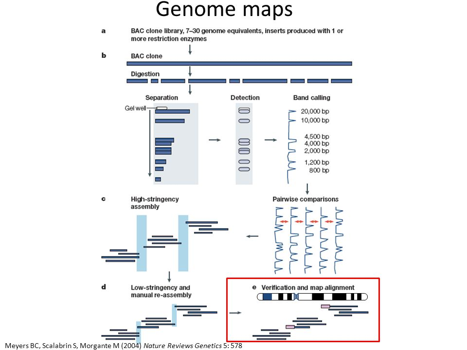 Genome maps Meyers BC, Scalabrin S, Morgante M (2004) Nature Reviews Genetics 5: 578