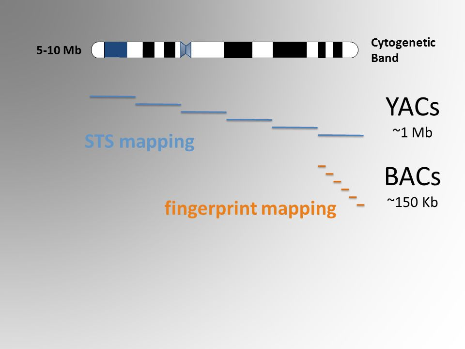 Cytogenetic Band 5-10 Mb YACs ~1 Mb BACs ~150 Kb STS mapping fingerprint mapping