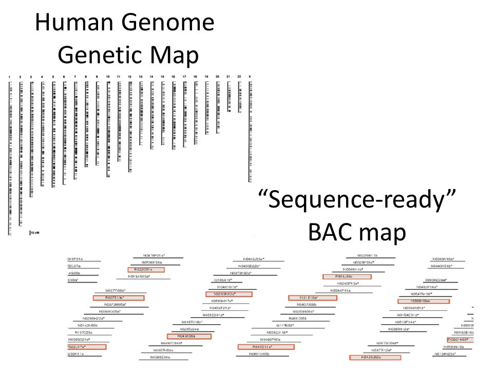 Human Genome Genetic Map Sequence-ready BAC map