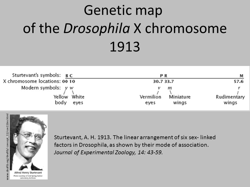Genetic map of the Drosophila X chromosome 1913 Sturtevant, A.