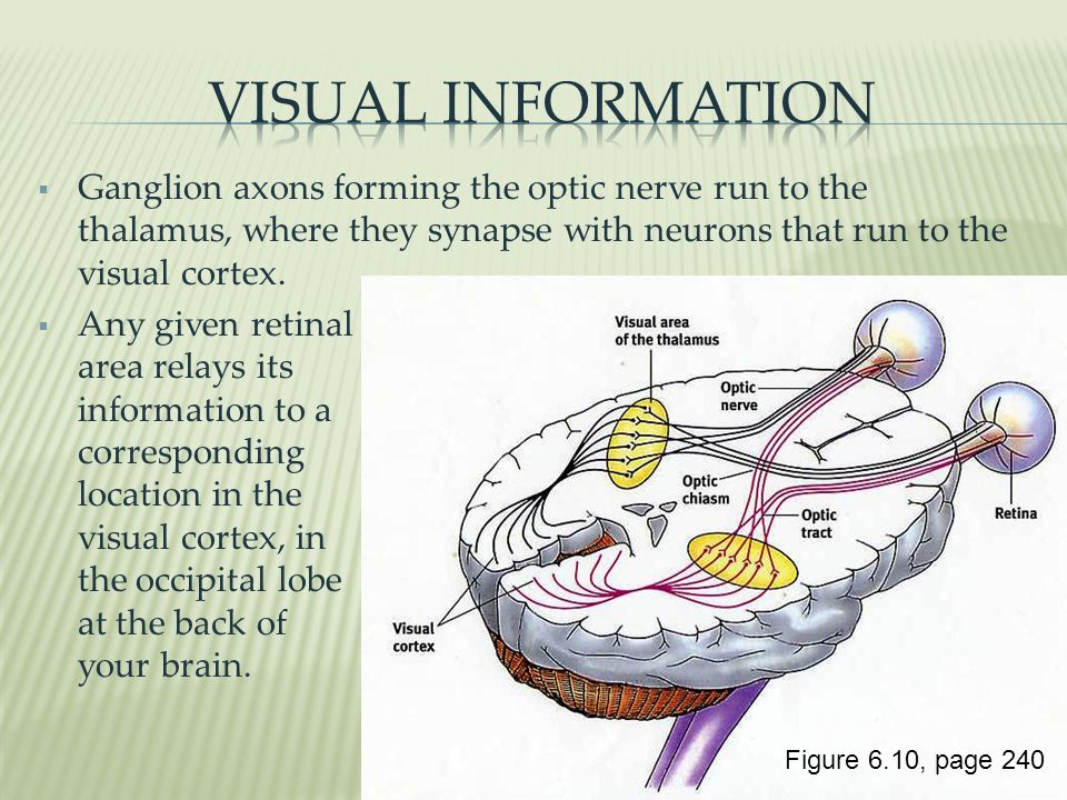  Ganglion axons forming the optic nerve run to the thalamus, where they synapse with neurons that run to the visual cortex.