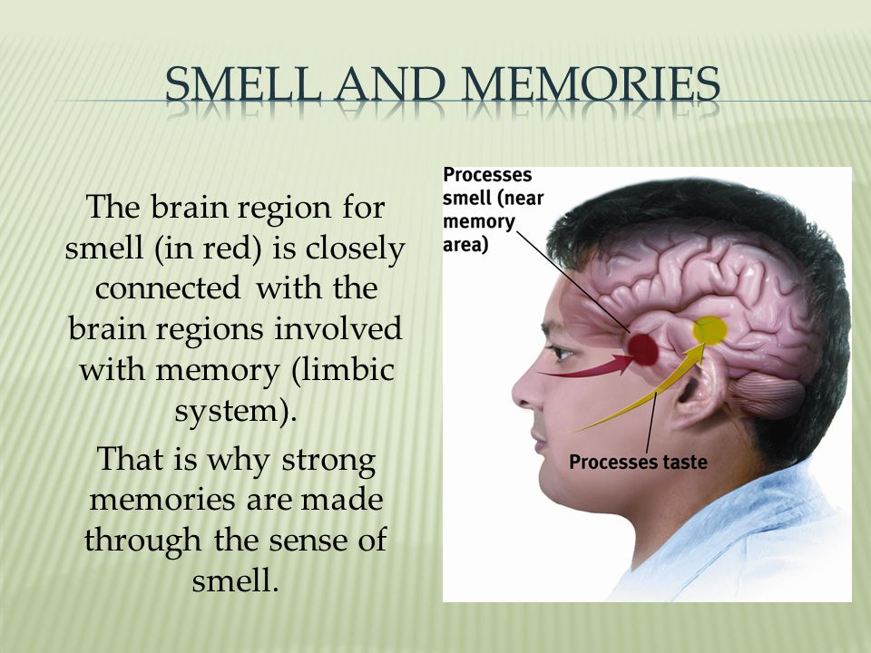 The brain region for smell (in red) is closely connected with the brain regions involved with memory (limbic system).