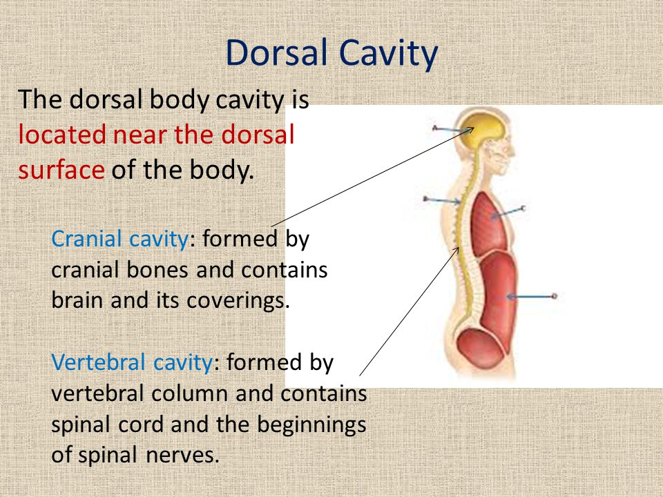 Dorsal Cavity The dorsal body cavity is located near the dorsal surface of the body. Cranial cavity: formed by cranial bones and contains brain and it
