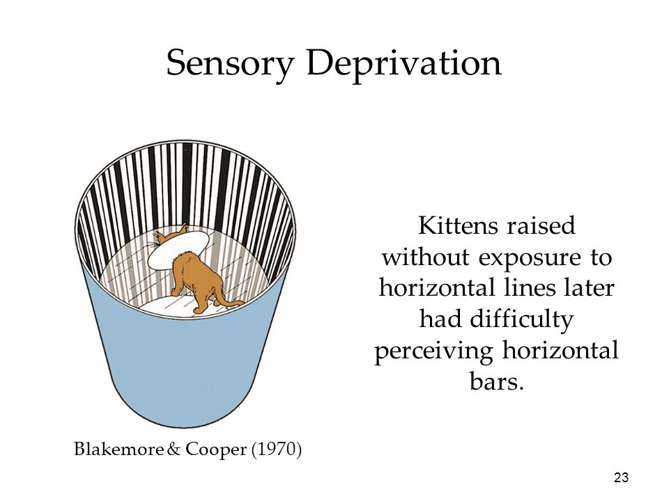 23 Kittens raised without exposure to horizontal lines later had difficulty perceiving horizontal bars. Blakemore & Cooper (1970) Sensory Deprivation